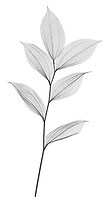 X-ray image of Korean fairy bells foliage (Disporum uniflorum, black on white) by Jim Wehtje, specialist in x-ray art and design images.