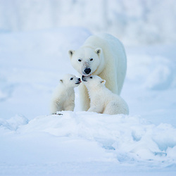 Polar bear cubs have a very close connection to their mother and often reaffirming their bond by touching noses. Wijdefjorden, Northern Svalbard.