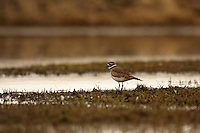 This is the first Kildeer of the season for me.  It's a good sign that the Spring Migration is in full swing!..©2009, Sean Phillips.http://www.Sean-Phillips.com