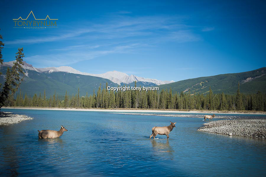 elk in river with mountain background