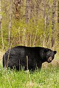 USA, Vince Shute Wildlife Sanctuary (MN).Black bear (Ursus americanus)
