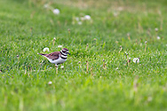 A Killdeer (Charadrius vociferus) foraging in the grass at Kekuli Bay Provincial Park near Vernon, British Columbia, Canada