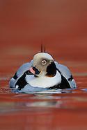 Long-tailed duck or Old-squaw, male, Clangula hyemalis, Båtsfjord village harbour, Varanger Peninsula, Norway, Scandinavia