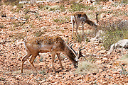Israel, Carmel Mountains, infant Persian Fallow Deer (Dama dama Mesopotamica) Endangered species. This specimen is part of a breeding nucleus for reintroducing this species back to nature. Photographed in Israel in September
