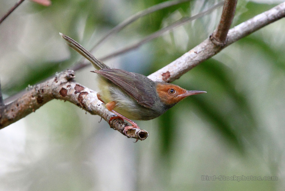 Olive-backed Tailorbird, Orthotomus sepium, The Menjangan, Bali, Indonesia, by Adam Riley