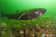 Greenland sleeper shark, Somniosus microcephalus, swims over ledge covered with plumose or frilled anemones, Metridium senile, and northern red anemones, Tealia felina or Urticina felina, and other invertebrates, St. Lawrence River estuary, Canada (this shark was wild & unrestrained; it was not hooked and tail-roped as in most or all photos from the Arctic)