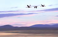 Sandhill cranes, San Luis Valley.