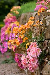 Lewisia cotyledon Ashwood strain growing in a wall in John Massey's garden
