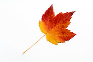 A red Sugar maple (Acer saccharum) leaf showing fall foliage colours on a white background
