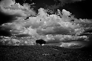 American bison alone on a hill in Yellowstone National Park Black and White