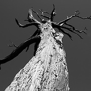 Dead pine, Glenfinnan