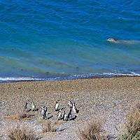 South America, Argentina, Valdes Peninsula. Penguin colony of the Valdes Peninsula.