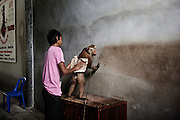 KOH SAMUI, THAILAND OCT 2013:<br />Mr Prawat 48 years old, he has been a trainer all his life and he owns the Samui Monkey Theatre a place where you can train your monkey and a place where tourist can see the famous Monkey Show in Samui.<br />He trains his monkeys in the morning to pick up coconut and in the afternoon he trains them for the show.<br />to have a good Monkey for the farmer he needs 6 months training, they are hard work monkeys.<br />for the show a monkey has to be trained for at least 2 years.<br />mr Prawat his a world trainer champions and he owns 4 monkeys that he rents out to the farmers that need monkey to work in the coconut field.<br />&copy; Giulio Di Sturco