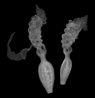 X-ray image of spent candy lily flowers (Iris norrisii, white on black) by Jim Wehtje, specialist in x-ray art and design images.