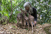Black-tailed Deer<br /> Odocoileus hemionus<br /> Diane Nicholas, President of Kindred Spirits Fawn Rescue, comforts scared three-day-old orphaned fawns that have just arrived <br /> Kindred Spirits Fawn Rescue, Loomis, California