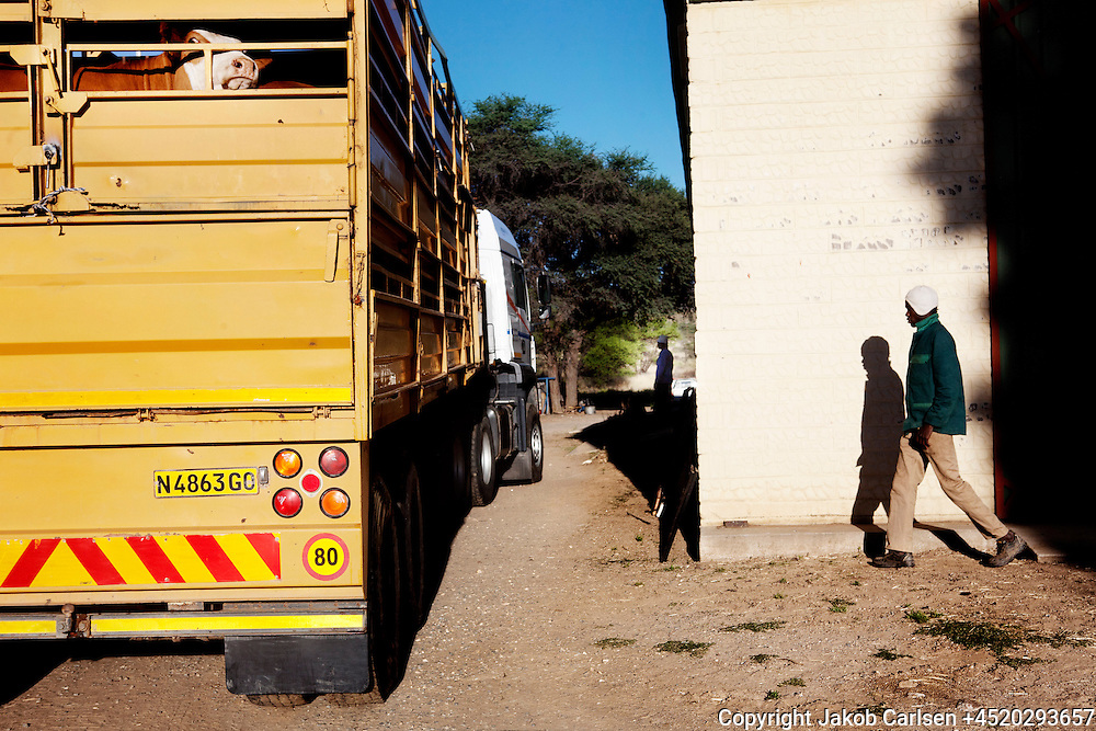 Cattle is brought to Meatco slaughterhouse in Okawando. Meatco helps new farmers establish themselves with favorable loans in order to assure their supply of meat.