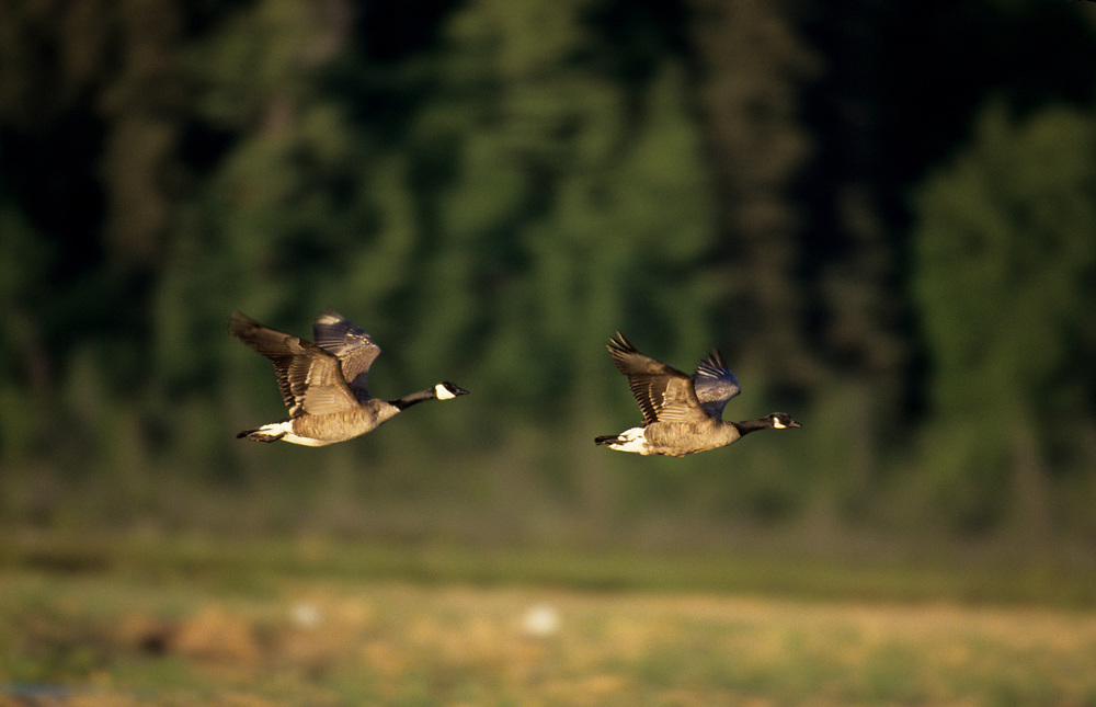 Alaska, Anchorage. Canada Geese fly above Potter Marsh wetlands.