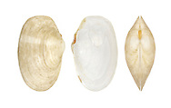 Thracia phaseolina Length to 18mm. Delicate bivalve mollusc that lives in sand. Mainly sublittoral. In Britain, commonest on W coasts.