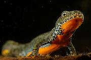 Alpine Newt (Triturus alpestris) female. Kiel, Germany | Beim Bergmolch (Triturus alpestris) weisen beide Geschlechter die einfarbige, leuchtend orange Körperunterseite auf. Das am Gewässergrund ruhende Weibchen reckt den Kopf empor, um kurz darauf mit kräftigen Schwanzschlägen zum Atmen an die Wasseroberfläche zu schwimmen.