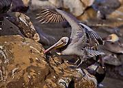 Bolsa Chica Wildlife Brown Pelican