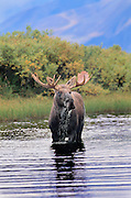 Bull Moose fresh out of velvet standing in pond