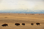 Bison, (bison bison), commercial herd, Absaroka Mountains, north of Big Timber, Montana