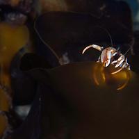 Common hermit crab, Pagurus bernhardus, Trondheimsfjorden, Norway