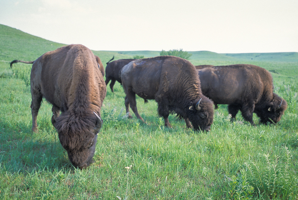 Kansas, USA - Bison roaming the Konza Prarie