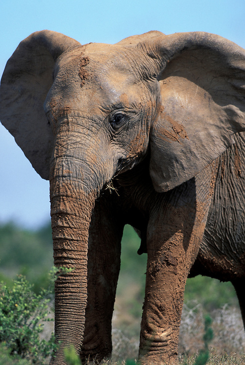 South Africa, Addo Elephant National Park,  Elephant (Loxodonta africana) covered with mud from water hole stands amid acacias