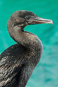 Flightless Cormorant (Phalacrocorax harrisi).<br /> Isabela Island. Western Isles of Galapagos Islands<br /> ECUADOR.  South America<br /> These are the largest of the world's 29 cormorant species and the only one that has lost the power of flight. They live very locally to the shores of Isabela and Fernandina Islands and although they can not fly still retain vestigial wings which help them to balance when jumping from rock to rock. As they do not produce much oil to waterproof their wings they must dry out their wings when they return to shore. Nests are constructed of seaweed, flotsam and jetsam and are never more than a few meters from shore. Usually up to 3 eggs are layed.<br /> ENDEMIC TO GALAPAGOS