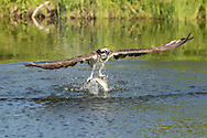 Osprey's powerful wings lift a large fish out of a pond , © 2015 David A. Ponton