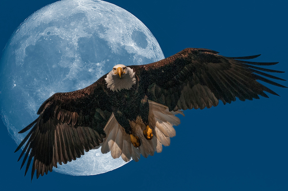 Enhanced Mature Bald Eagle Flying with Moon in background,(Haliaeetus Leucocephalus).