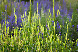 Weld, Dyer's Rocket with Viper's bugloss. Reseda luteola, Echium vulgare