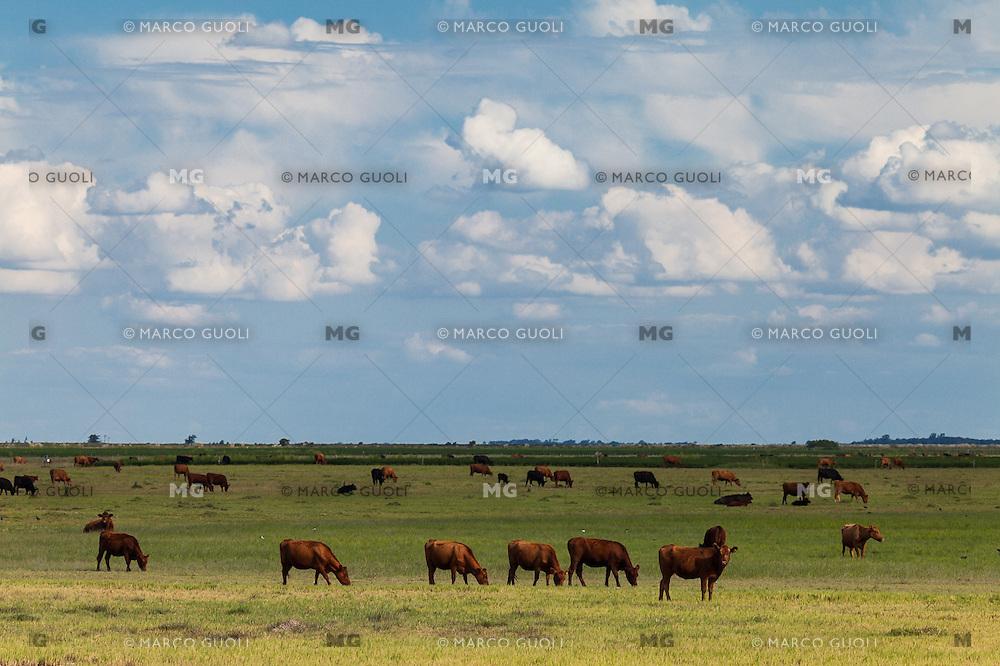 GANADO BOVINO ABERDEEN ANGUS NEGRO Y COLORADO PASTANDO, GENERAL LEVALLE, PROVINCIA DE CORDOBA, ARGENTINA (PHOTO © MARCO GUOLI - ALL RIGHTS RESERVED)