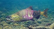 Chum Salmon, Underwater