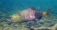 Chum Salmon<br /> <br /> Patrick Clayton/Engbretson Underwater Photography