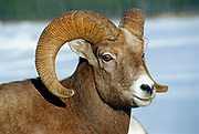 American or Rocky Mountain bighorn sheep (Young American or Rocky Mountain bighorn sheep (Ovis canadensis canadensis) on cliff ledge in Jasper National Park) at Minnewanka Lake in Banff National Park<br />Banff National Park<br />Alberta<br />Canada