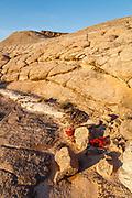 Blooming indian paintbrush on brainrock in Utah