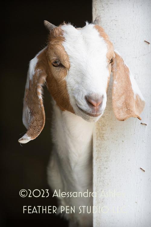 Goat kid peeking out of barn window on midwestern dairy farm.