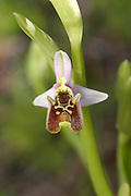 Israel, Ophrys wild orchid (Ophrys holosericea) Drone Bee-Orchid