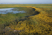 California vernal pool; Goldfields in bloom; Lasthenia sp., Central Valley