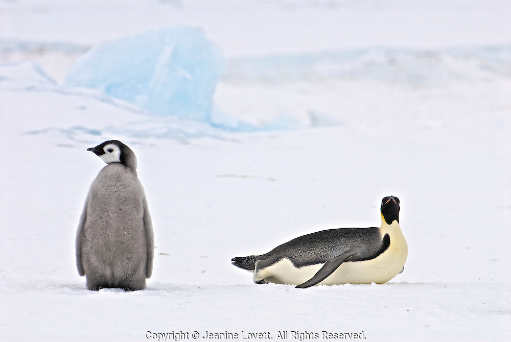 Emperor penguin chick stand around while adult toboggans past with ice in the background.
