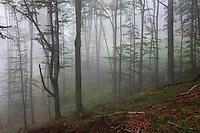 Carpathian Beech Forest in Bieszczady National Park, Poland