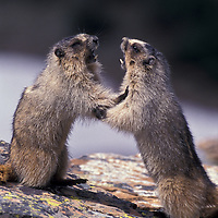 Hoary marmots playing. Glacier National Park, Montana.