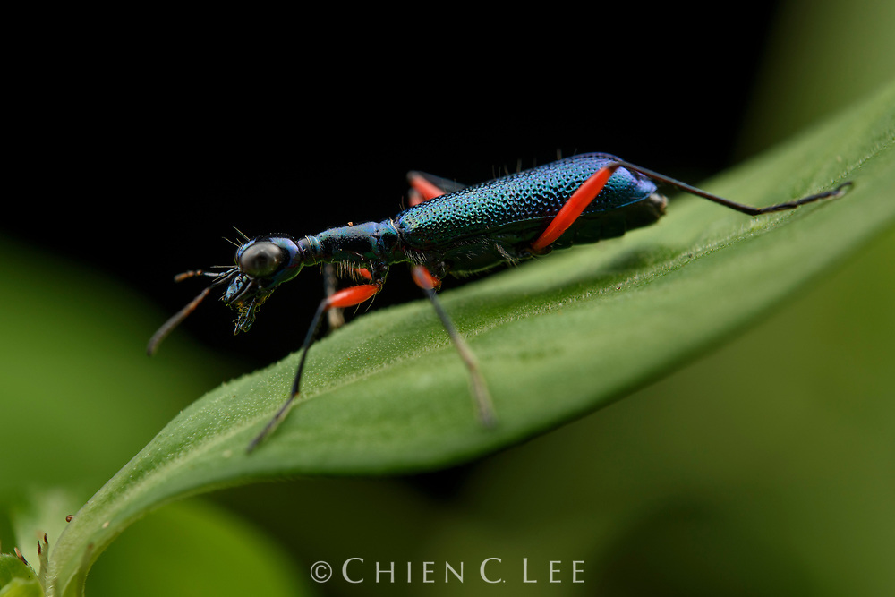 Ant-mimicking tiger beetle (Neocollyris sp.)