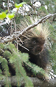 Porcupine hangs out in a tree near Seward, Alaska