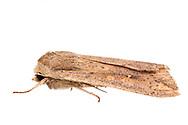 Armyworm Moth - Hodges#10438 (Mythimna unipuncta)<br /> United States: Alabama: Tuscaloosa Co.<br /> Tulip Tree Springs off Echola Rd.; Elrod<br /> 29-Oct-2016<br /> J.C. Abbott #2878