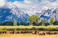 Free roaming bison in Grand Teton National Park, the Grand Tetons towering above.