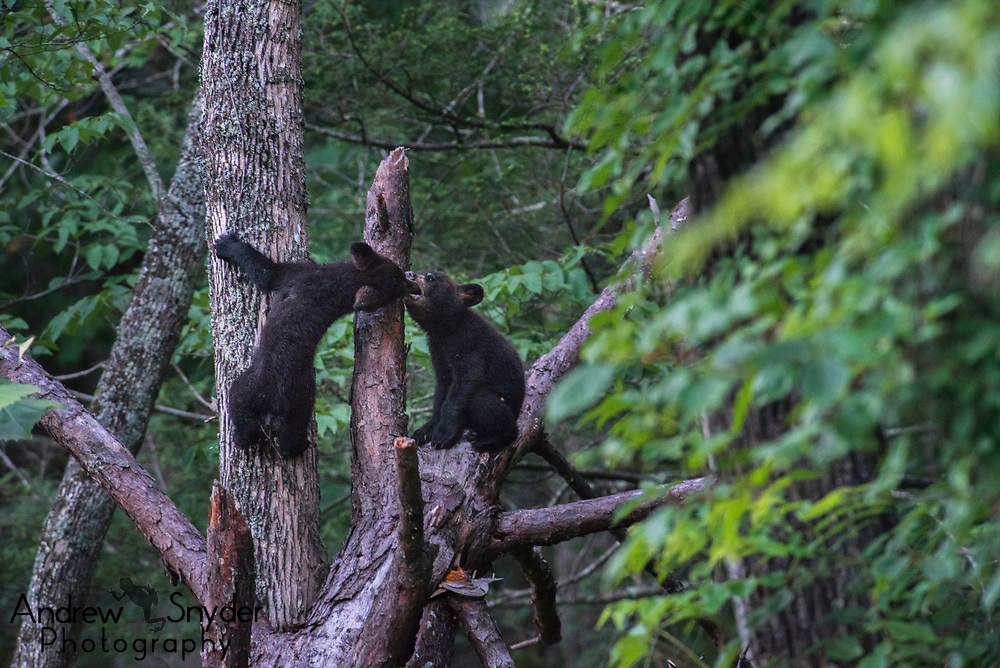 Bear cubs playing in a dead tree - Great Smoky Mountains, Tennessee