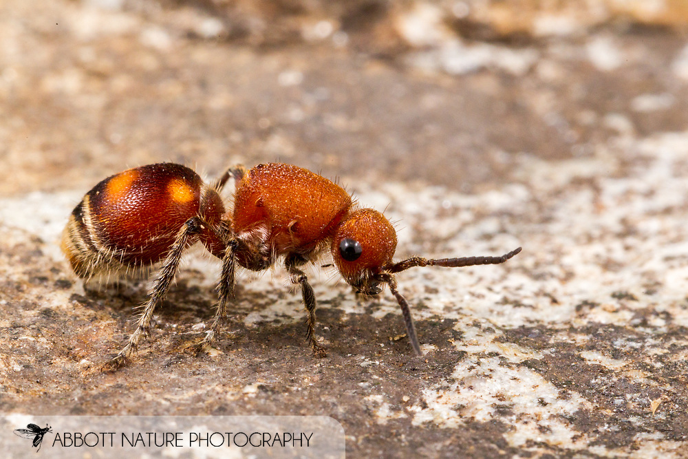 Velvet Ant (Dasymutilla quadriguttata) - female<br /> United States: Alabama: Tuscaloosa Co.<br /> Tulip Tree Springs off Echola Rd.; Elrod<br /> 22-Sep-2016<br /> J.C. Abbott #2871